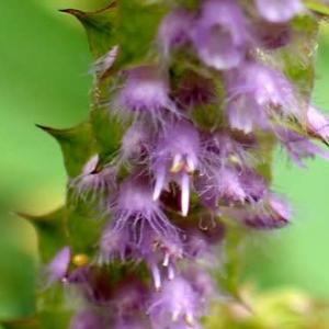 ナギナタコウジュの花