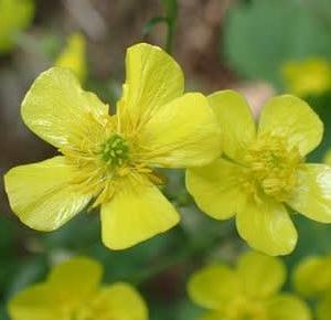キンポウゲの花