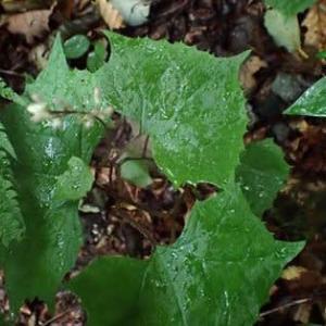 オオカニコウモリの葉