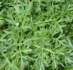 タカネイブキボウフウの葉