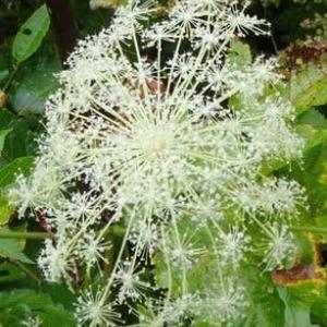 大型のセリ科植物 ①ミヤマシシウドの花序