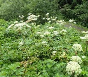 大型のセリ科植物 ①ミヤマシシウドの群生