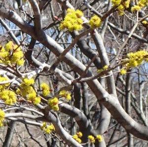 アブラチャンの枝