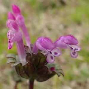ホトケノザの花
