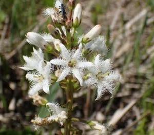 ミツガシワの花