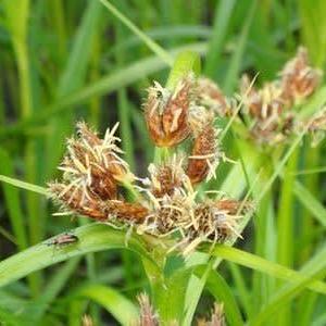 ウキヤガラの雄性期の花序