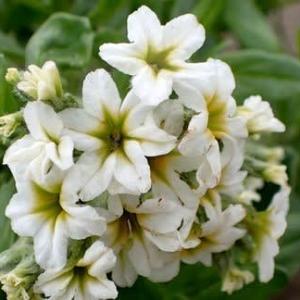 スナビキソウの花