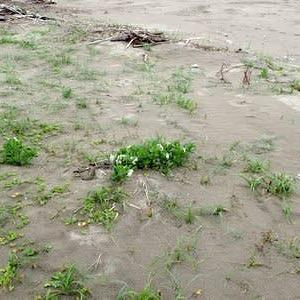 スナビキソウが生育する環境
