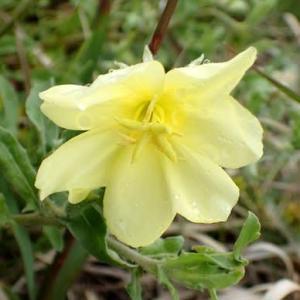 コマツヨイグサの花