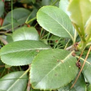 シャリンバイの葉