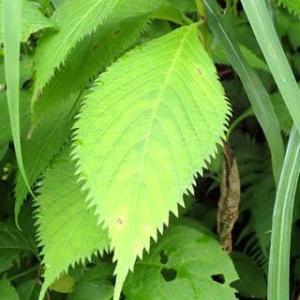 クサアジサイの葉