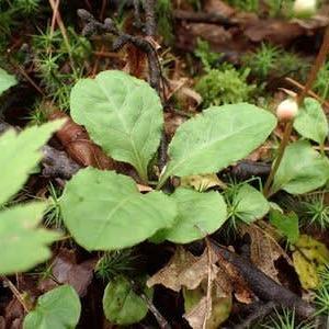 コバノイチヤクソウの葉
