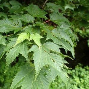 アサノハカエデの葉
