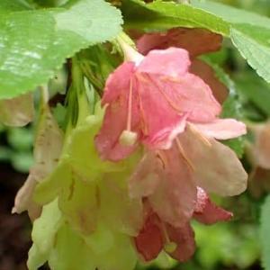 ニシキウツギの花