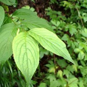 ニシキウツギの葉