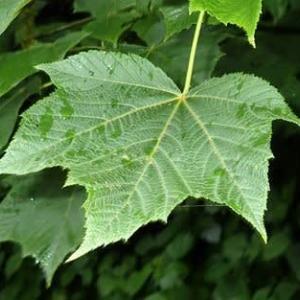 テツカエデの葉