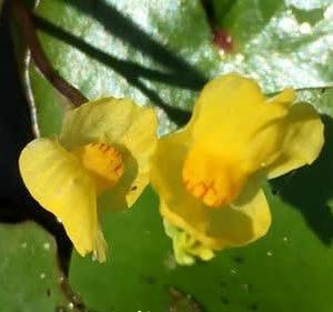 フサタヌキモの花