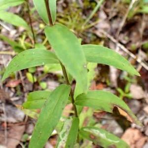 エゾリンドウの葉