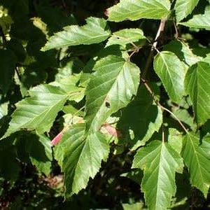 カラコギカエデの葉