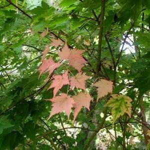 紅葉するミネカエデ