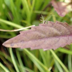 ヒメシロネの葉