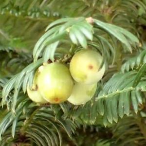 ハイイヌガヤの果実