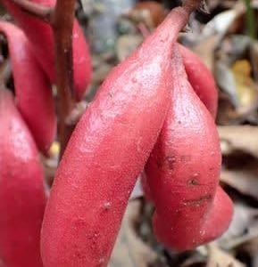 ツチアケビの果実