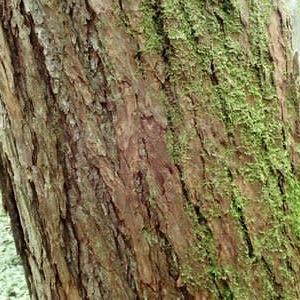 カラマツの樹幹