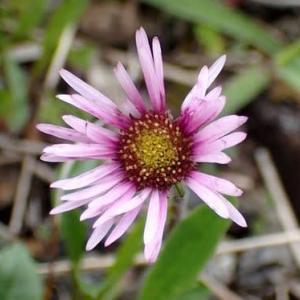 ミヤマアズマギクの花