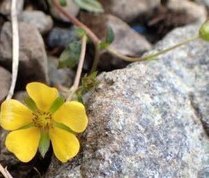 キジムシロの花