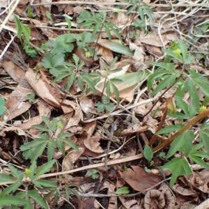 ヒメイチゲの葉