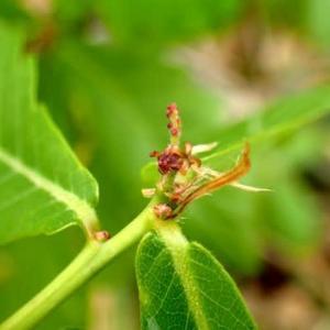 ミヤマナラの雌花