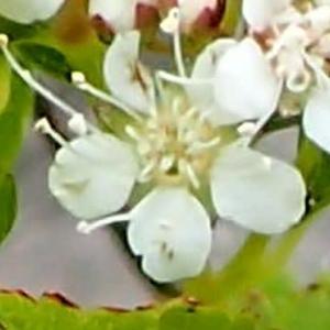 マルバシモツケの花