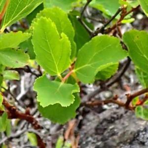マルバシモツケの葉