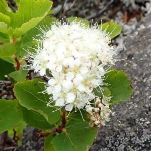 マルバシモツケの花序