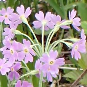 ユキワリソウの花