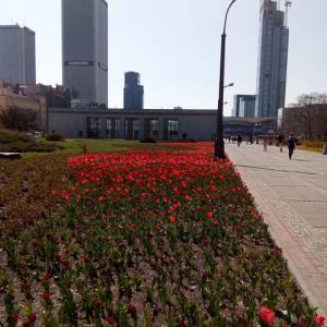 【ポーランド】やっと春 / ダーリンのタンポポ