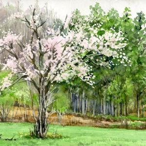 奥山の一本桜(岩泉町・雷峠・岩手県)