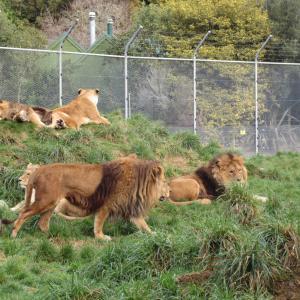 ロトルア観光☆ライオンのいる公園