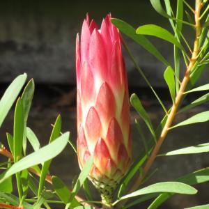 不思議な花・プロテア