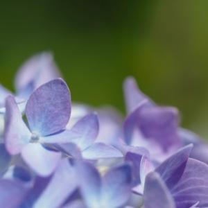'21.5紫陽花