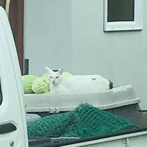 別宅の猫たち〜437話〜ぼうしさんとキャベツ