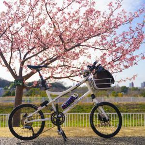 河津桜(@藤沢引地川公園)が満開です(^^)