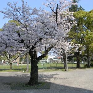 今年も桜が咲いた。