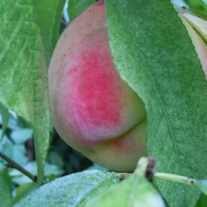 桃に実がつきました