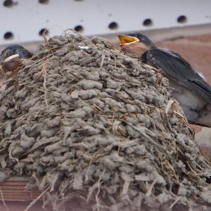 新たな巣の子ツバメ達③