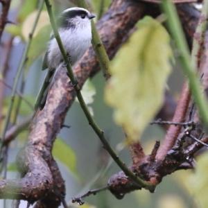 日本の野鳥 エナガ_3