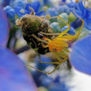 903(20201471) 蜂を捕るクモ・シマサシガメ