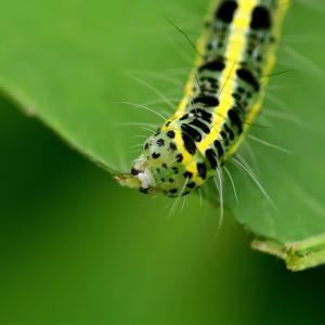 931(2020178) フタトガリコヤガの幼虫