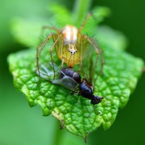 938(2020185) クサグモが蜂を捕食
